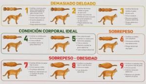 Condicion corporal gato